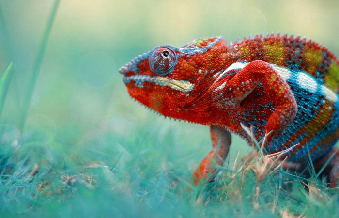5 Care Tips for Chameleons